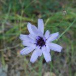 photo fleur de montagne