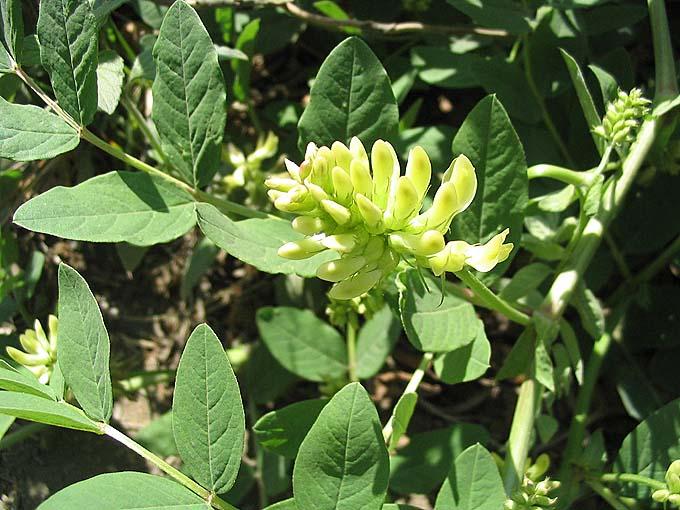 photo photo fleur de réglisse