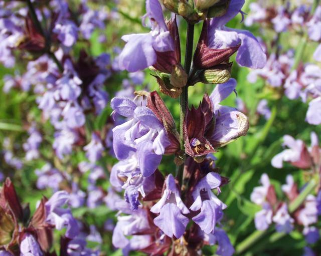 photo photo fleur de sauge