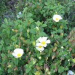 photo fleur de sauge