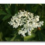 photo fleur de sureau