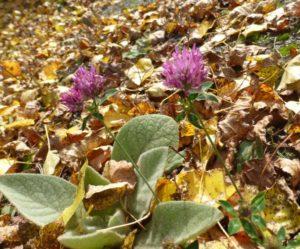 photo fleur de trèfle