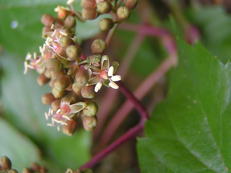 Photo Fleur De Vigne 8