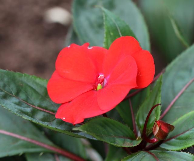 photo fleur impatience #2
