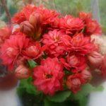 photo fleur kalanchoe