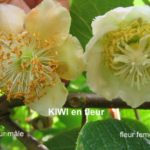 photo fleur kiwi femelle