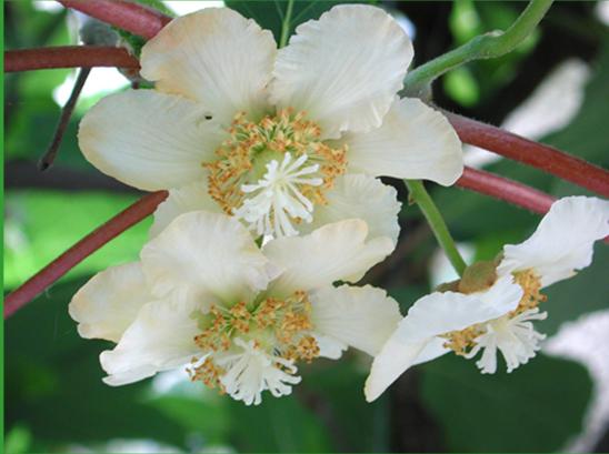 Photo Fleur Kiwi Femelle 8