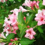 photo fleur weigela