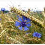 photo fleurs de campagne