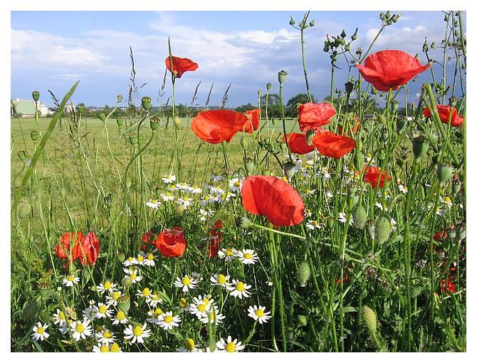 photo photo fleurs de campagne