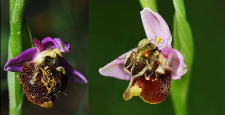 photo ophrys gortynia