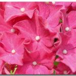 photos de fleurs hortensia