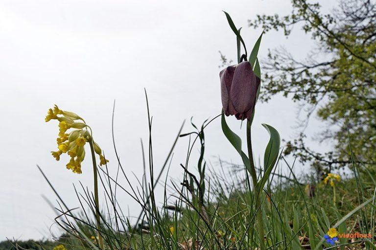 photo photos fleur fritillaire