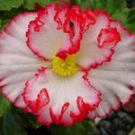 photo de fleur begonia