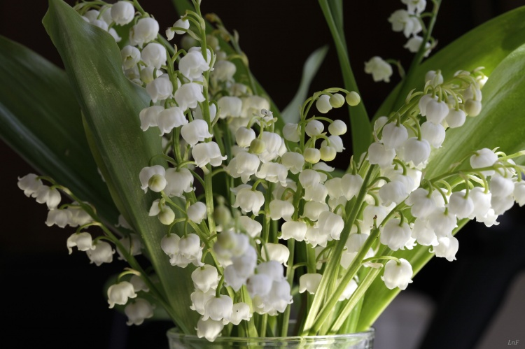 photo photo de muguet fleur