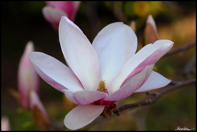plante photo fleur de magnolia. Black Bedroom Furniture Sets. Home Design Ideas