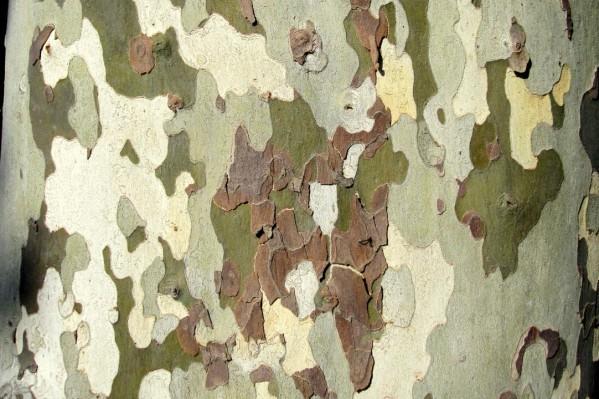 photo renoncule à feuilles de platane