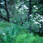 Renoncule à feuilles de platane