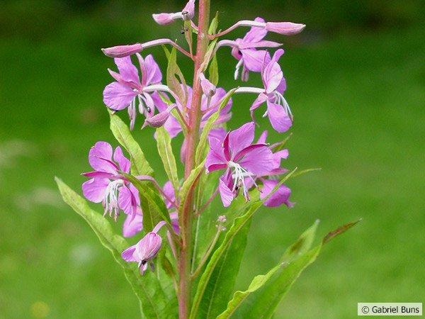 photo epilobe à petites fleurs