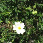 Ciste à petites fleurs