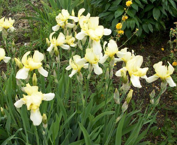 photo iris jaune