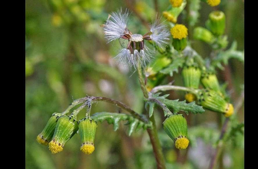 une plante Martin 1er avril trouvée par Jov' Fleur-senecon-commun-3-8