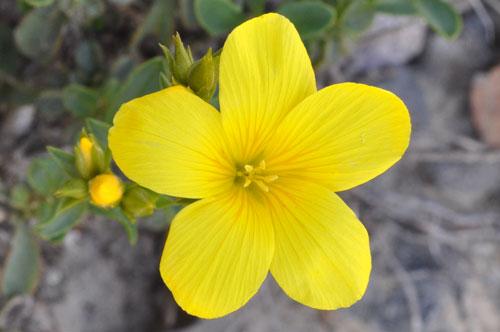 photo lin jaune