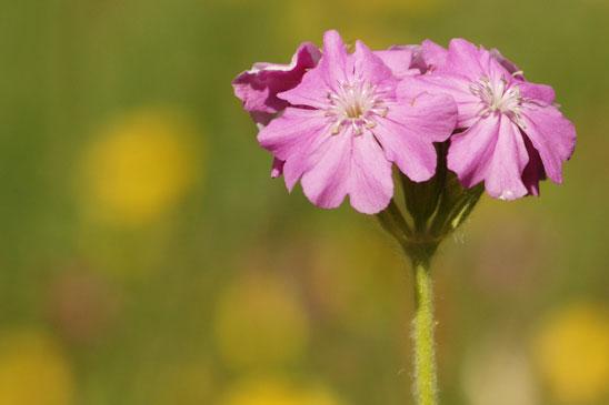 photo lychnis fleur de jupiter