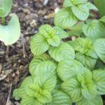 Menthe à feuilles rondes