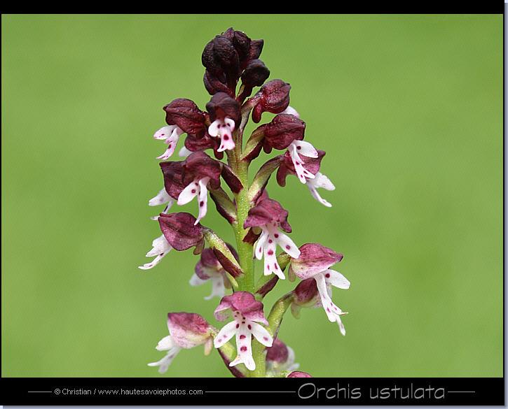 photo orchis brûlé