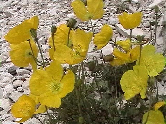 photo pavot des alpes rhétiques