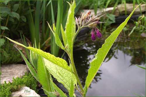 photo plantain d'eau