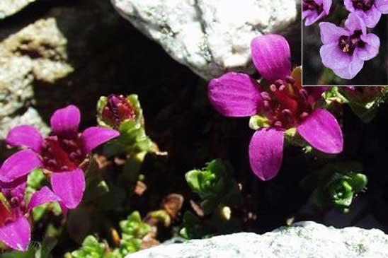 photo saxifrage à feuilles opposées