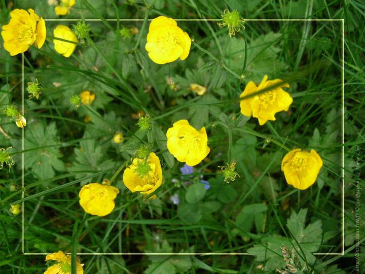fleur boutons d'or #2