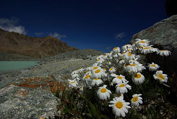 photo leucanthème des alpes