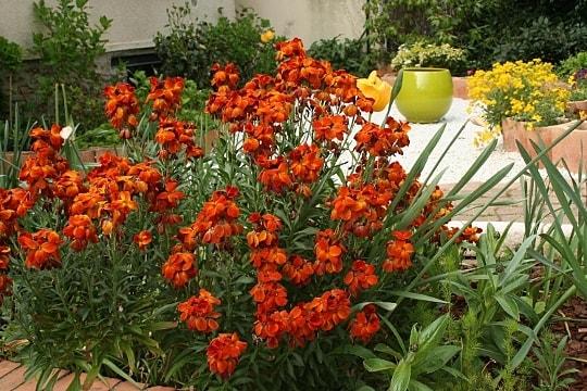 photo giroflée des jardins