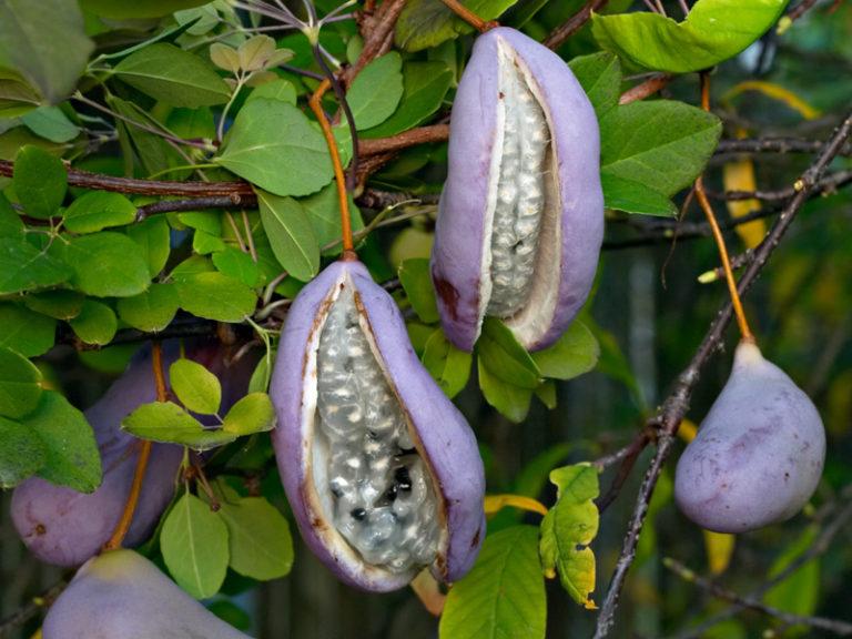 photo listère à feuilles en cœur