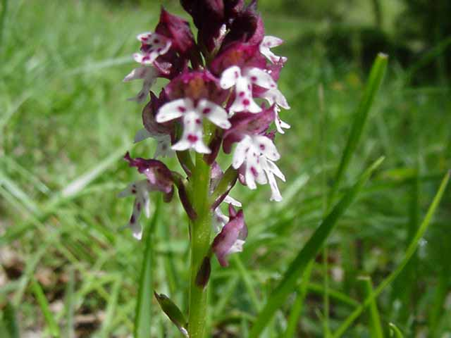 photo orchis