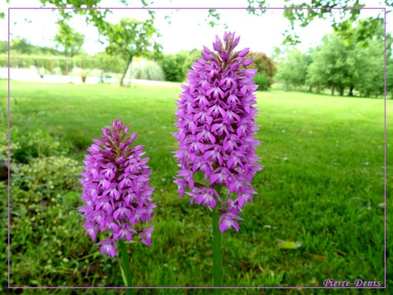 photo orchis moucheron