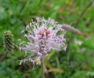 Plantain argenté