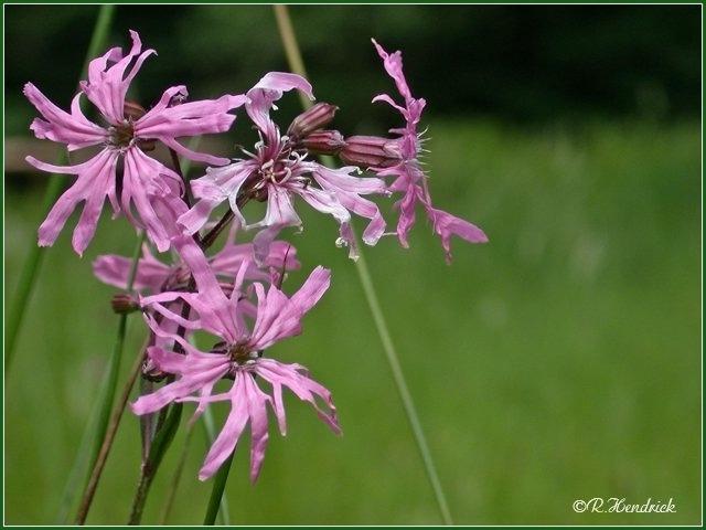 photo orchis négligé