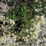Saxifrage aizoon