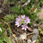 Erodium des pierres