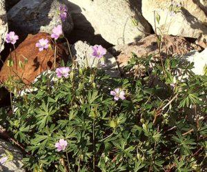 Géranium colombin