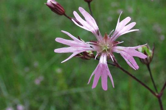 photo lychnis fleur de coucou