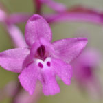 Orchis de Martrin-Donos