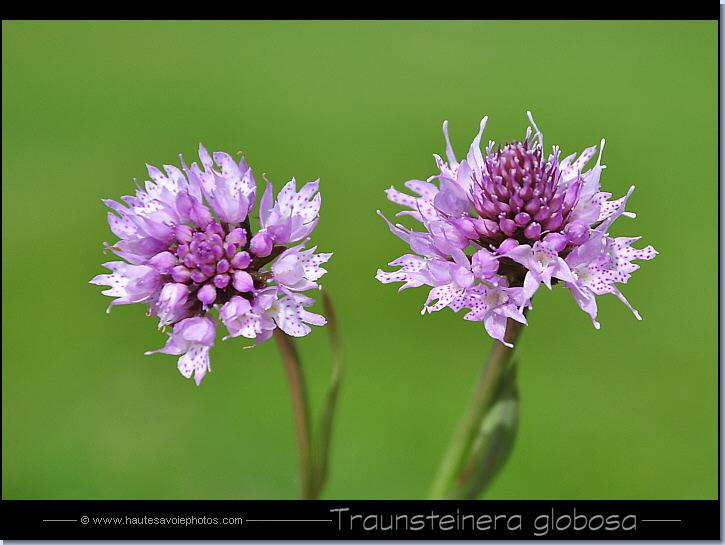photo orchis globuleux