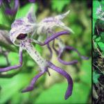 orchis singe