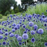 Oursin bleu