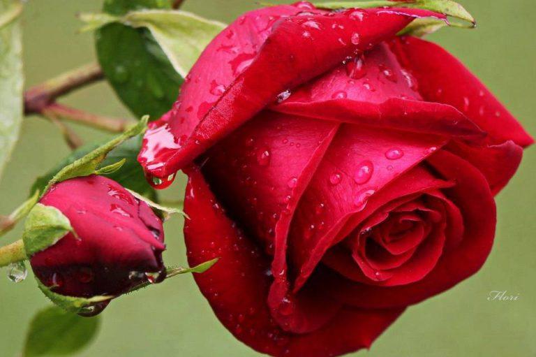 photo rose rouge